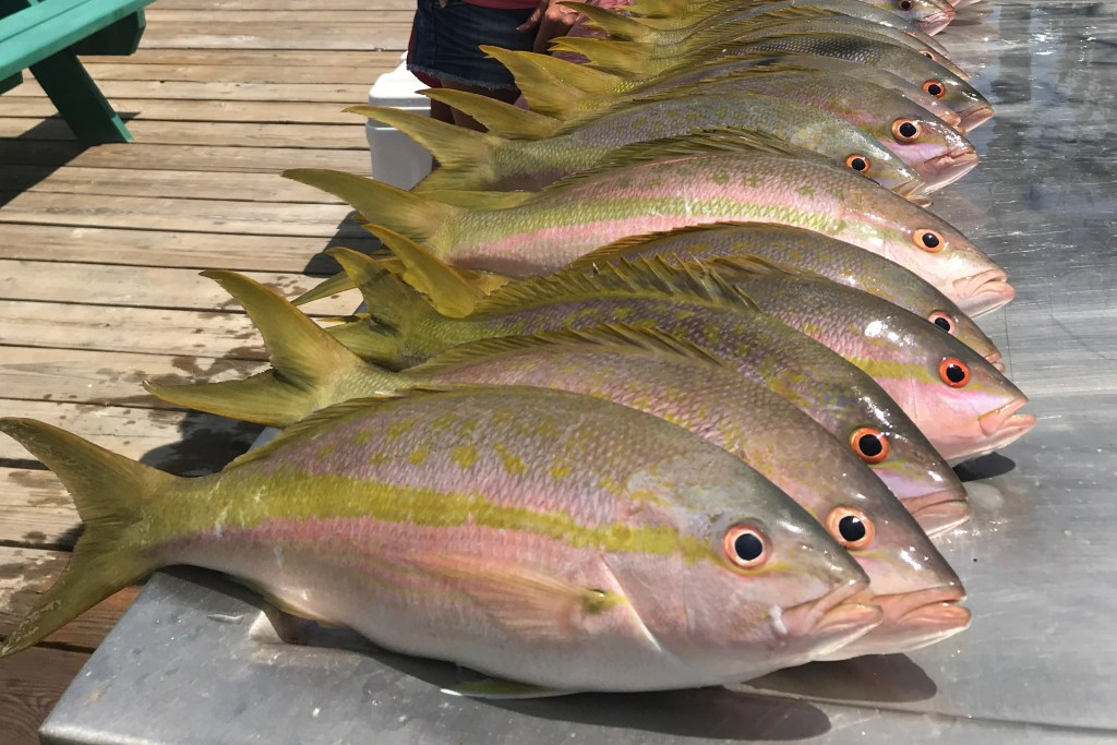 A group of Yellowtail Snapper on a filleting board at a dock in Florida