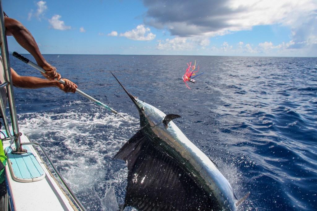 Angler unhooking a black marlin