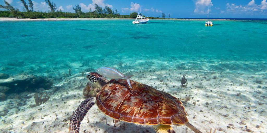 a view of a submerged sea turtle and the beach of Cozumel in the background, Mexico