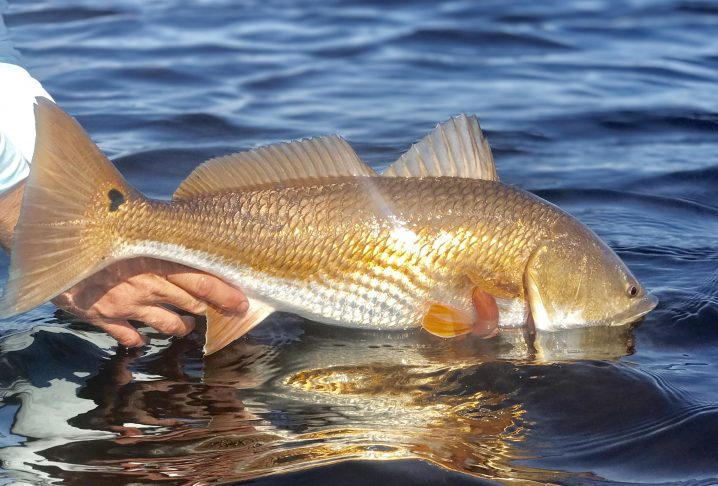 A Redfish being lowered into the water during a catch and release fishing trip