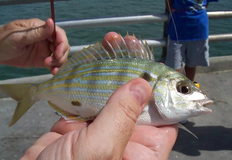 a pinfish, one of the most popular tarpon fishing baits