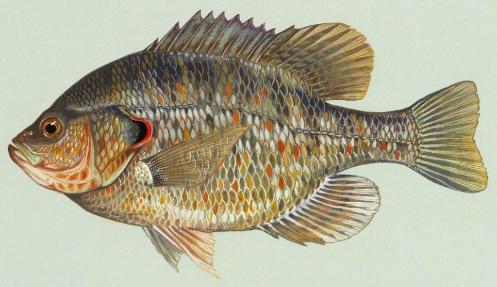 a redear sunfish