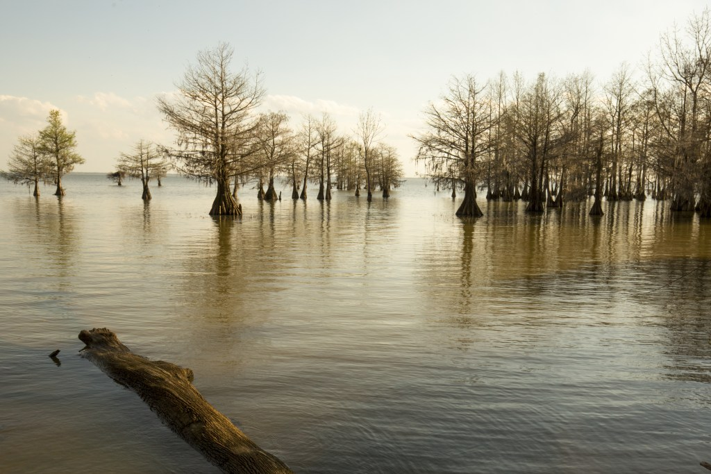 A photo of Lake Marion with the trees sticking out of the water.