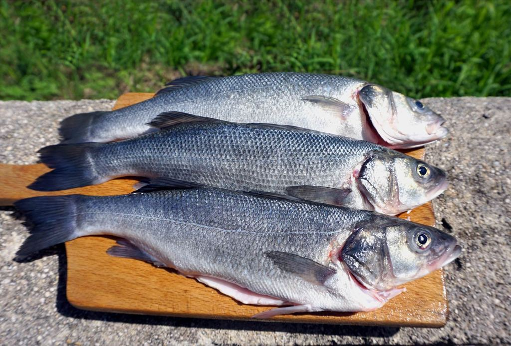 Three Seabass on a chopping board after being caught in the Adriatic Sea