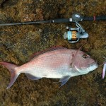 A Dentex fish on a rock with a fishing rod next to it.
