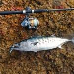 A Bonito caught while shore jigging from rocks in the Mediterranean Sea