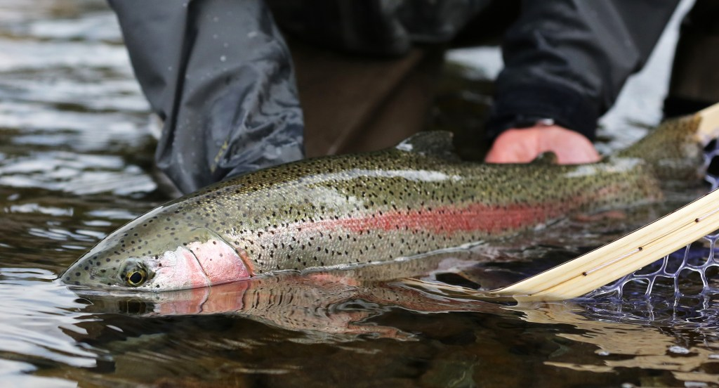 angler holding a big rainbow trout in water