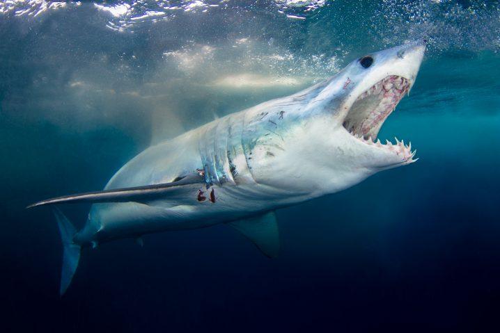 Shortfin Mako Shark: the World's Ultimate Hunter