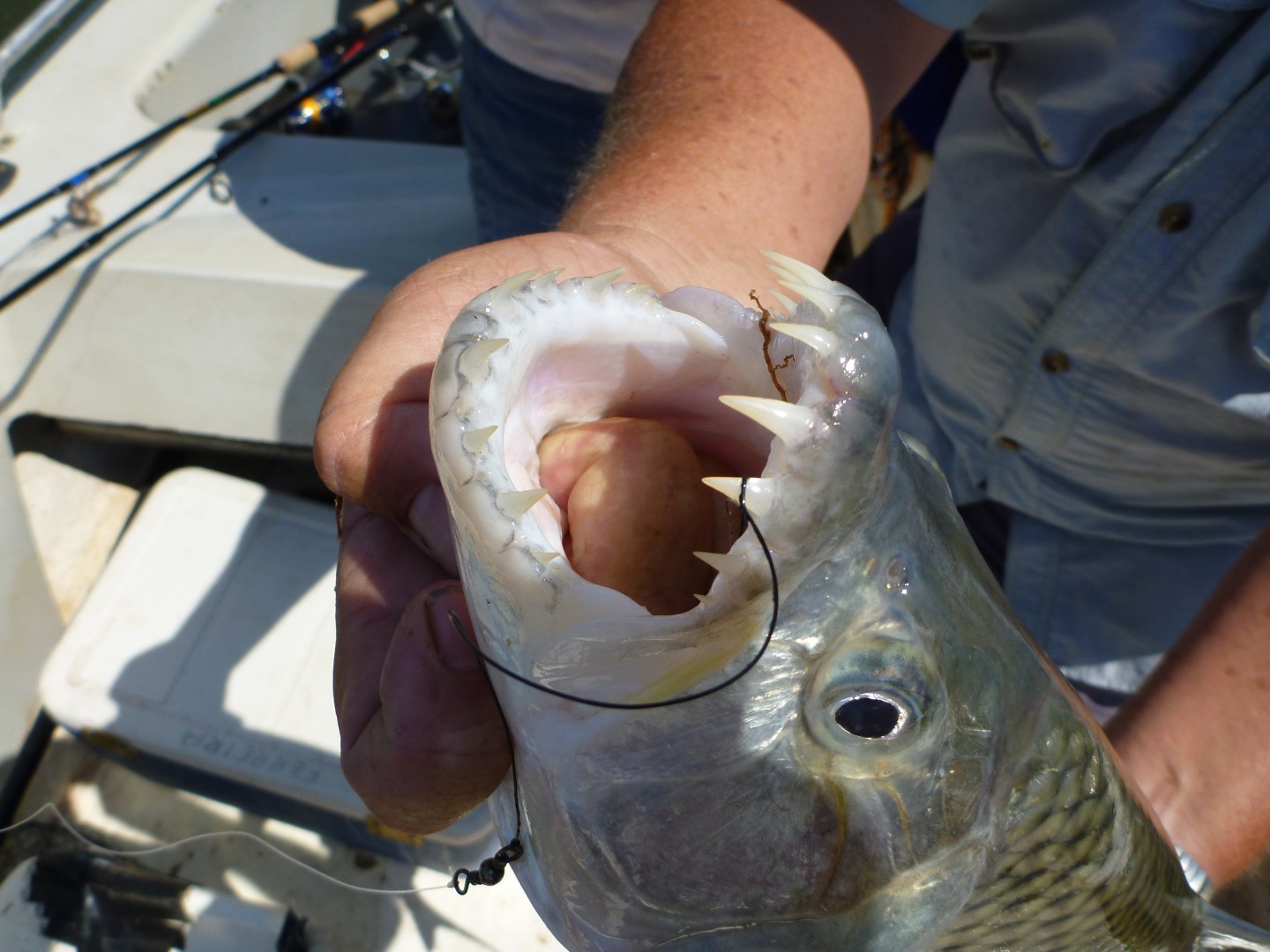 a close up of a Tigerfish being held by an angler on a boat