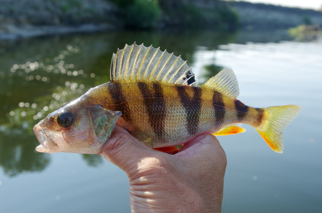 a yellow perch in an angler's hand with a river in the background