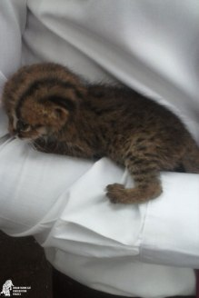 Rusty kitten pulled out of the firewood pile for safety reasons (photographed by MAS LI staff)