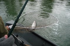 A sockeye in the net.