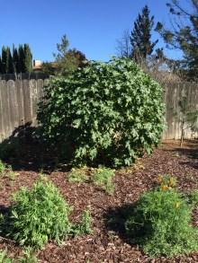 Sierra Currant (Ribes nevadense) bush.