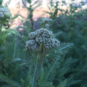 Western Yarrow (Achillea millefolium californica), I believe.