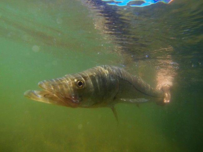 Picture of Snook under water