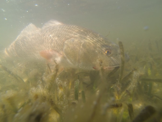 Redfish underwater picture