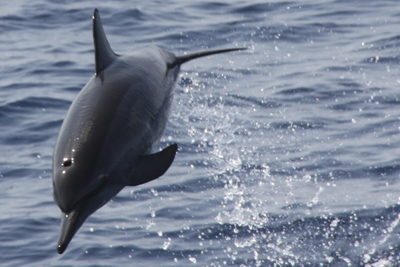 Jumping dolphin, Similan Islands