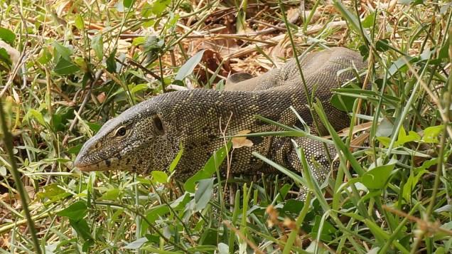 Monitor lizard near camp