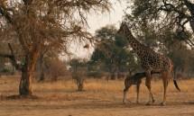 Early morning giraffes