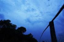The bat migration at Kasanka National Park