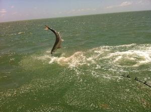 tarpon jumping