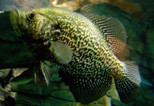 Crappie Fish