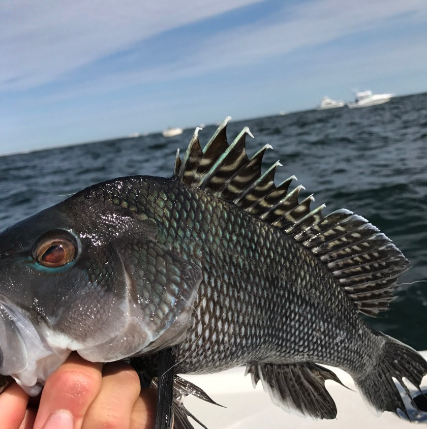 "Black sea bass are on the reefs but few are keepers. Here's one 15.5"" sea bass that went for a live minnow."