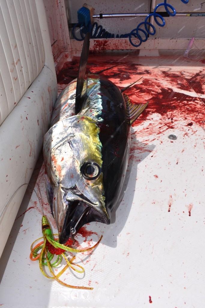 yellowfin tuna caught on the troll