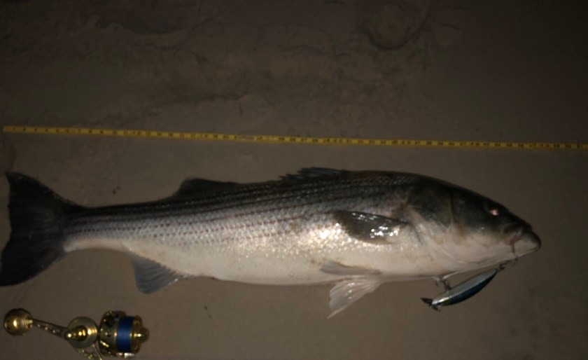 May is one of the best times to look for big trophy sized striped bass on the beach of LBI. This monster striped bass was caught on a metal lip plug.