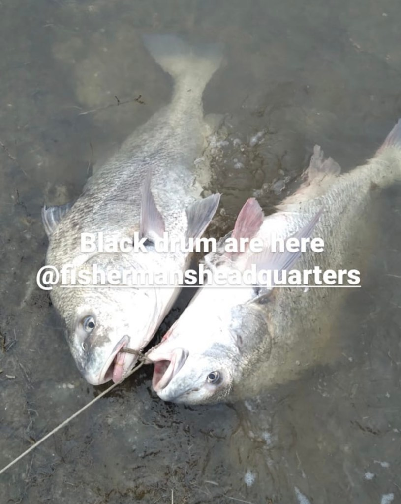 The first black from we've heard and see are these two which were caught down in Great Bay. The report came in from Paul Lindsey who was fishing next to the anglers who caught them