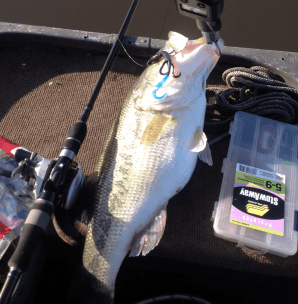 Eight largemouth caught on the same lizard, the largest four weighed in at 19 pounds 4 ounces