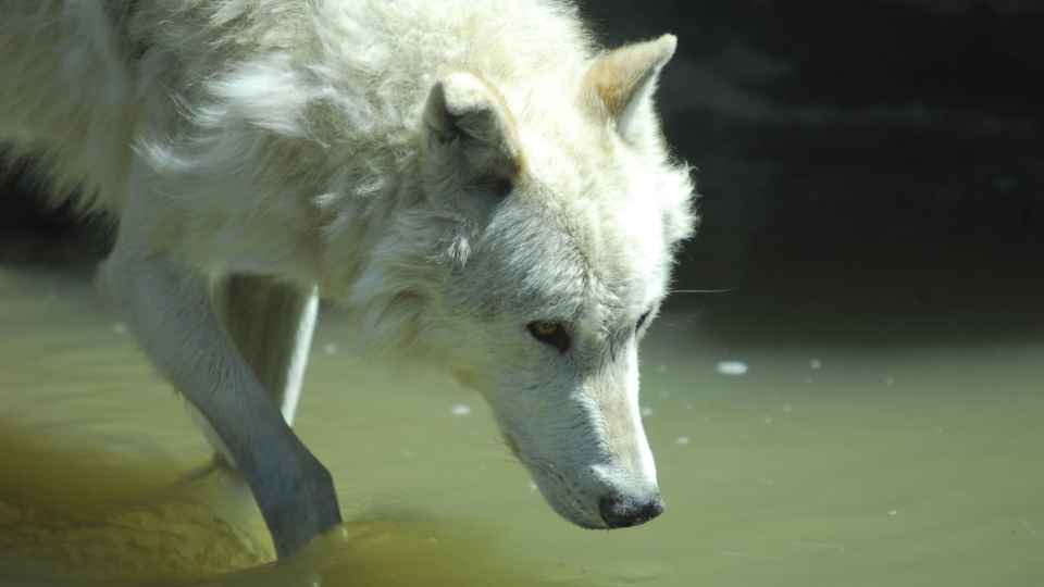 The Incredible Way Wolves Change Rivers
