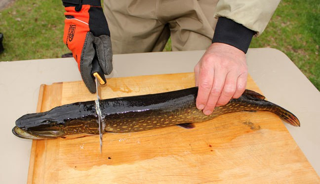 "Keeping pike alive and dispatching with a ""billy"" just before cleaning results in a better product. Select a fillet knife with a blade at least 6-inches long. Begin cleaning by laying the pike on its belly. Place the fillet knife against the back of the head, just behind the gills, and cut straight down to the backbone. Angle the blade of the knife slightly toward the tail, riding right along the backbone, and slice all the way to the tail and remove the top fillet. Place the blade between the skin and flesh, angled down slightly against the skin. Grab the tab of skin behind the blade with a plier or Lindy Fish Handler Glove and pull slightly while sliding the blade along the skin, removing the first boneless fillet."