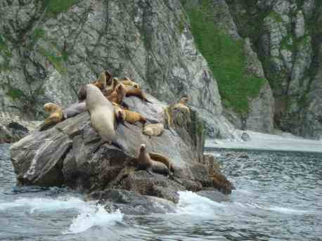 80-percent of some salmon migrations have been mitigated by seals and sea lions