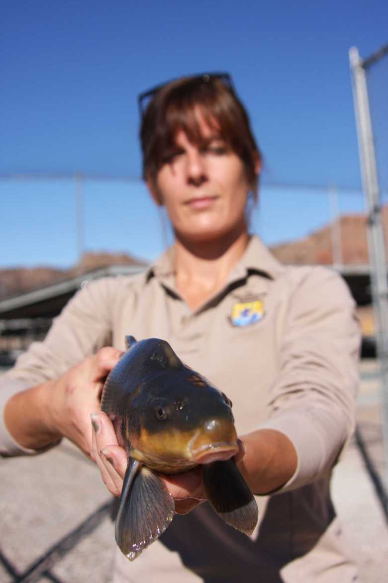 ashlie-peterson-southwestern-fish-health-unit-w-razorback-sucker-at-willow-beach-national-fish-hatchery-keel-on-nape-photo-craig-springer-usfws
