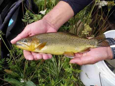Apache trout Jennifer Johnson USFWS