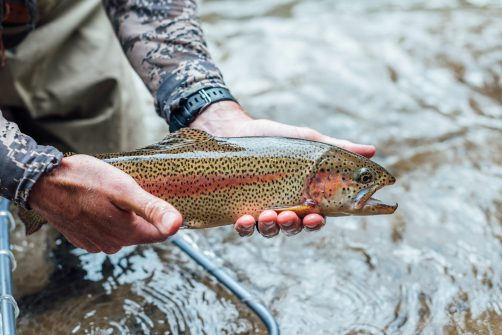The introduction of Rainbow Trout in Colorado was the death knell for Yellowfin cutthroat trout.