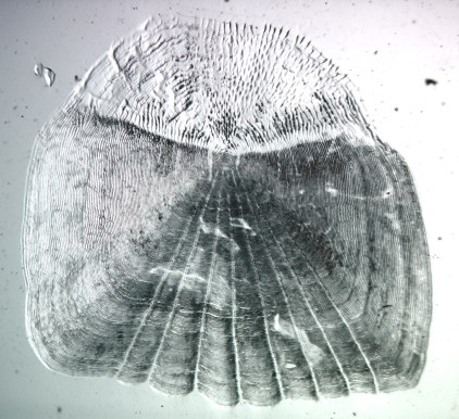 Growth rings on smallmouth bass scale. Two-thirds of the scale is embedded in the fish skin. Photo ODWC