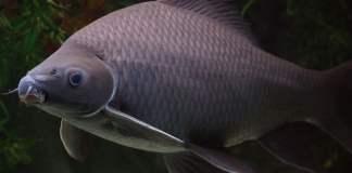 ปลากา