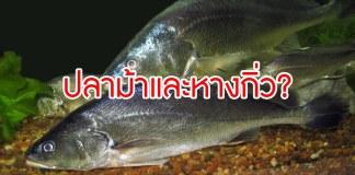 ปลาม้า