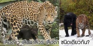 เสือดำ