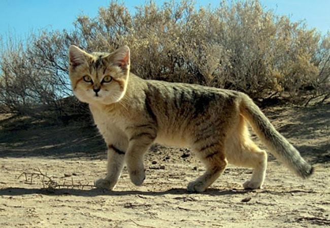 แมวทราย