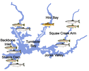 lake-shasta-trout-salmon-chinook-brown-rainbow-map