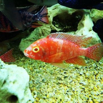 Man-made Aulonocara colour variant Copyright Fishkeeping News Limited