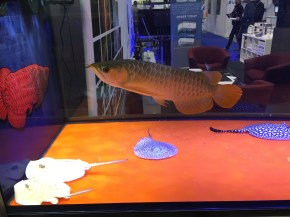 Asian arowana, Dragonfish, Scleropages spp. Image copyright Fishkeeping News Limited.