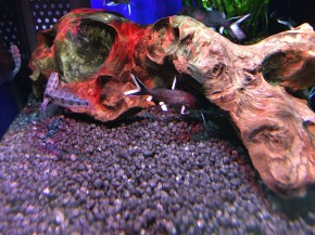 Synodontis granulosus Copyright Fishkeeping News Limited