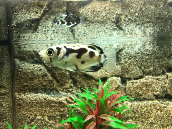 Clouded archerfish, Toxotes blythii Copyright Fishkeeping News Limited