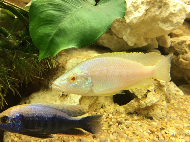 """Dimidiochromis compressiceps """"albino"""" Copyright Fishkeeping News Limited"""