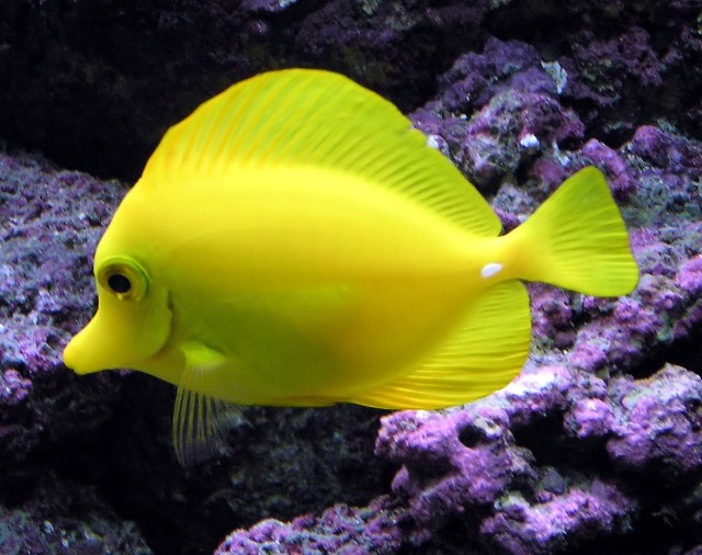 Yellow tangs are now banned from collection in Hawaii