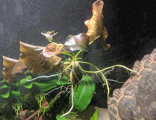 Floating Aquarium Plants Long Roots